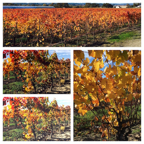 Vineyards Fall 2015 California